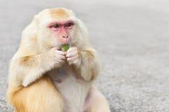 Χρυσός - ο μαλλιαρός πίθηκος που τρώει μια ζελατίνα μεταχειρίζεται, Kam Shan, Χονγκ Κονγκ Στοκ Εικόνες