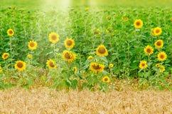 χρυσός πεδίων πράσινος Στοκ φωτογραφία με δικαίωμα ελεύθερης χρήσης