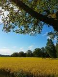 χρυσός πεδίων Στοκ εικόνα με δικαίωμα ελεύθερης χρήσης