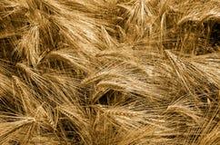 χρυσός σίτος πεδίων κριθαριού Τα αυτιά του χρυσού κριθαριού κλείνουν επάνω Στοκ Εικόνες