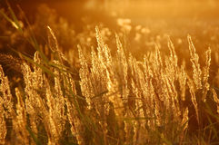 χρυσός σίτος πεδίων στοκ φωτογραφία