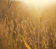 χρυσός σίτος πεδίων Αυτιά του σίτου πέρα από το λιβάδι στο χρυσό W Στοκ Φωτογραφίες