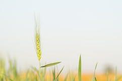 χρυσός σίτος πεδίων κριθαριού Στοκ φωτογραφία με δικαίωμα ελεύθερης χρήσης