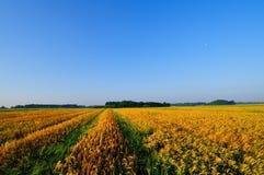 χρυσός σίτος πεδίων κριθαριού Στοκ Εικόνες