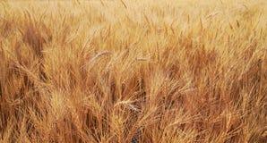 χρυσός σίτος πεδίων κριθαριού Στοκ Φωτογραφία