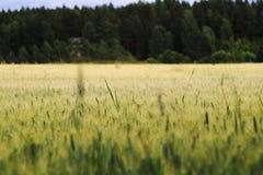 χρυσός σίτος πεδίων κριθαριού Στοκ εικόνα με δικαίωμα ελεύθερης χρήσης