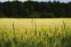 χρυσός σίτος πεδίων κριθαριού Στοκ Φωτογραφίες