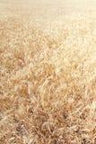 χρυσός σίτος πεδίων Στενός επάνω τομέων σίτου λιβαδιών Πλούσιο κοβάλτιο συγκομιδών Στοκ Φωτογραφία