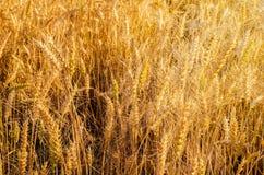χρυσός σίτος πεδίων Στοκ φωτογραφία με δικαίωμα ελεύθερης χρήσης