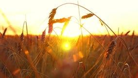 Χρυσός σίτος σε ένα υπόβαθρο ηλιοβασιλέματος Spikelets της ώριμης κινηματογράφησης σε πρώτο πλάνο σίτου φιλμ μικρού μήκους