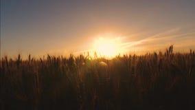 Χρυσός σίτος στο έντονο φως και τις ακτίνες του ηλιοβασιλέματος φιλμ μικρού μήκους