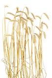 χρυσός σίτος Στοκ Εικόνες