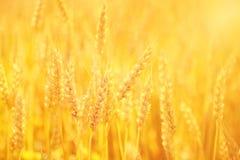 χρυσός σίτος στοκ φωτογραφίες