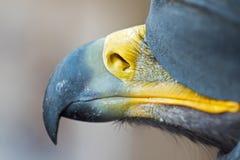 Χρυσός στενός επάνω ραμφών αετών Στοκ Εικόνα