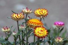 Χρυσός συνεχής ή strawflower στοκ εικόνες