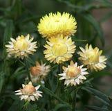 Χρυσός συνεχής ή strawflower στοκ φωτογραφία