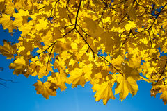 χρυσός σφένδαμνος στοκ φωτογραφίες