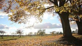 Χρυσός σφένδαμνος φθινοπώρου Ο ήλιος λάμπει μέσω των κίτρινων φύλλων απόθεμα βίντεο