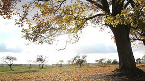 Χρυσός σφένδαμνος φθινοπώρου Φύλλα που ταλαντεύονται στον αέρα απόθεμα βίντεο