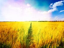 Χρυσός τομέας απογεύματος του κριθαριού Η The Sun επάνω από τον ορίζοντα βερνικώνει πέρα από έναν νέο τομέα κριθαριού Στοκ εικόνες με δικαίωμα ελεύθερης χρήσης