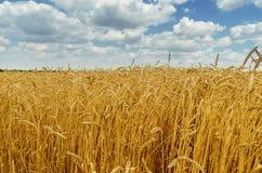 χρυσός τομέας γεωργίας χρώματος και δραματικά σύννεφα Στοκ Εικόνες