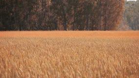 Χρυσός τομέας καλλιέργειας σίτου φθινοπώρου και όμορφο δάσος απόθεμα βίντεο