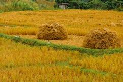 Χρυσό ρύζι ορυζώνα Στοκ Φωτογραφίες