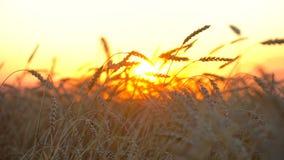 Χρυσός τομέας σίτου, επαρχία στο ηλιοβασίλεμα Αυτιά της κινηματογράφησης σε πρώτο πλάνο σίτου Υγεία υποβάθρου τομέων σίτου, ήλιος φιλμ μικρού μήκους