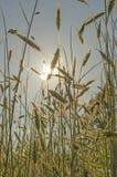 Χρυσός τομέας σίτου στο ηλιοβασίλεμα ενάντια στον ήλιο με το ηλιακό πλαίσιο Στοκ Εικόνες