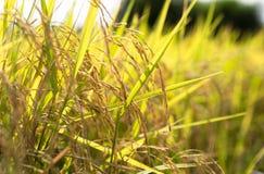 Χρυσός τομέων ρυζιού Στοκ Φωτογραφίες