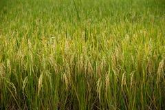 Χρυσός τομέων ρυζιού Στοκ εικόνα με δικαίωμα ελεύθερης χρήσης