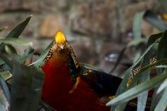 Χρυσός φασιανός, Νότια Αφρική Στοκ φωτογραφία με δικαίωμα ελεύθερης χρήσης