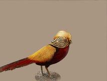 χρυσός φασιανός Στοκ φωτογραφία με δικαίωμα ελεύθερης χρήσης