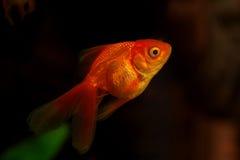 χρυσός ψαριών μικρός Στοκ Εικόνα