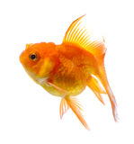 Χρυσός ψαριών στο άσπρο υπόβαθρο Στοκ Εικόνα