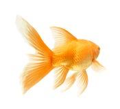 χρυσός ψαριών Στοκ φωτογραφίες με δικαίωμα ελεύθερης χρήσης