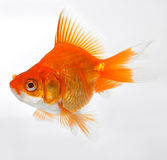 χρυσός ψαριών Στοκ Φωτογραφία