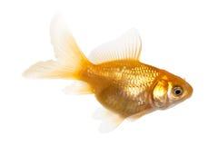 χρυσός ψαριών Στοκ Εικόνα