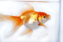 χρυσός ψαριών Στοκ Φωτογραφίες