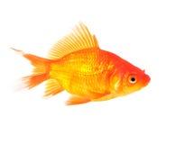 χρυσός ψαριών Στοκ φωτογραφία με δικαίωμα ελεύθερης χρήσης
