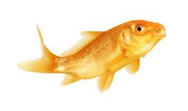 χρυσός ψαριών Στοκ εικόνα με δικαίωμα ελεύθερης χρήσης
