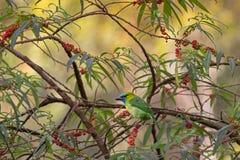 Χρυσός-Barbet το πουλί πράσινο κυανό μπλε να σκαρφαλώσει στο πορτοκάλι Στοκ Εικόνες