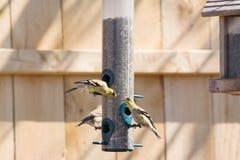 Χρυσός finches που ταΐζει στον τροφοδότη Στοκ Εικόνες