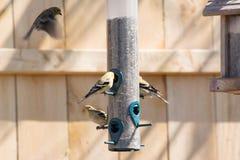 Χρυσός finches που ταΐζει Στοκ Εικόνα