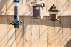 Χρυσός finches που ταΐζει Στοκ Φωτογραφία