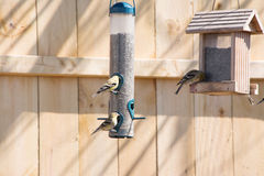 Χρυσός finches που ταΐζει Στοκ φωτογραφίες με δικαίωμα ελεύθερης χρήσης