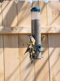Χρυσός finches που ταΐζει Στοκ εικόνα με δικαίωμα ελεύθερης χρήσης
