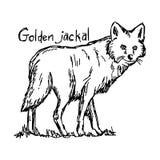 Χρυσός jackal - διανυσματικό χέρι σκίτσων απεικόνισης που σύρεται με το Μαύρο Στοκ φωτογραφία με δικαίωμα ελεύθερης χρήσης