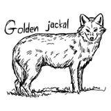 Χρυσός jackal - διανυσματικό χέρι σκίτσων απεικόνισης που σύρεται με το Μαύρο Στοκ Εικόνες