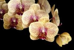 χρυσός orchids σκώρων ψεκασμός Στοκ φωτογραφία με δικαίωμα ελεύθερης χρήσης